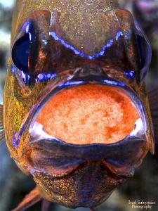 Cardinal fish with eggs by Iyad Suleyman
