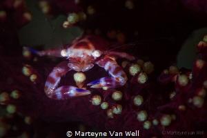 Porcelain crab in soft coral by Marteyne Van Well