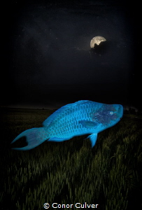 """Asleep By Midnight"" a photo playing off of parrotfish sl... by Conor Culver"