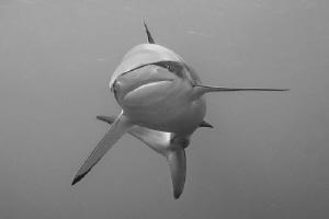 Silky shark by Paul Colley