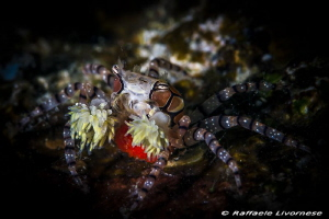 Boxer crab with pon pons and eggs by Raffaele Livornese
