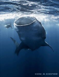 Whale shark turning near a freediver by Ken Kiefer