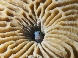 small gobbi in a coral by Yoav Lavi