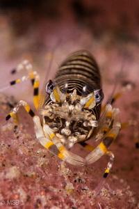 Bumble bee shrimp on the barrel sponge. by Mehmet Salih Bilal