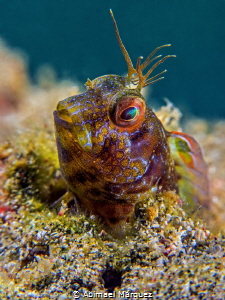Blenny by Abimael Márquez