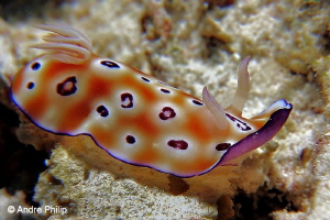 """The Beauty"" - Chromodoris leopardus by Andre Philip"