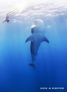 Freediver interacting with Whale Shark by Ken Kiefer