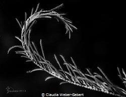 curves........ featherstar macro - close up by Claudia Weber-Gebert