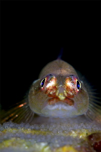 Goby on the eggs by Iyad Suleyman