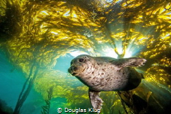 Out Of The Light. This harbor seal bursts from the kelp c... by Douglas Klug