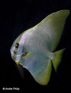 Portrait of young Batfish Raja Ampat, Indonesia by Andre Philip