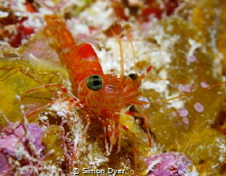 little red eye shrimp found him snuck up and had one shot... by Simon Dyer