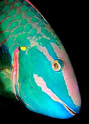 Parrot fish. D2x 60mm by Rand Mcmeins