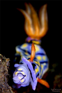 Nudibranch while eating by Iyad Suleyman