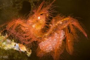 Hairy shrimp details. by Mehmet Salih Bilal