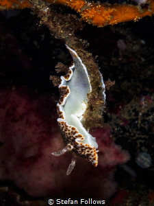 Twister. Nudibranch - Chromodoris mandapamensis. Samran, ... by Stefan Follows