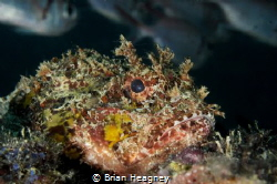 Scorpionfish rests on the edge of a reef ledge as it's pr... by Brian Heagney