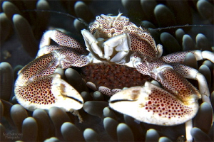 Porcelain Crab with eggs by Iyad Suleyman