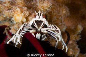 Squat Lobster, Dumaguete, Philippines by Rickey Ferand