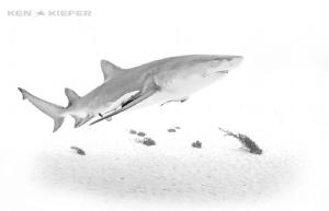 Lemon Shark in HighKey by Ken Kiefer