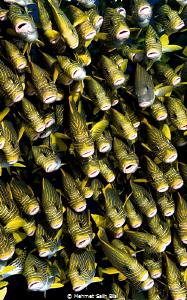 Sweetlips at 45 meter depth. by Mehmet Salih Bilal