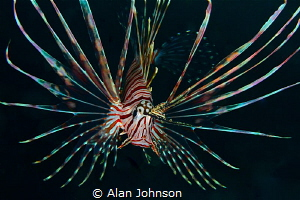 lionfish by Alan Johnson