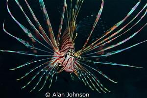 lionfish by Alan Johnson