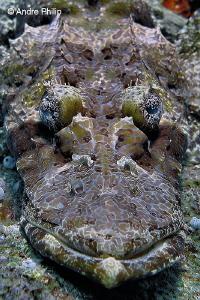 """The Camouflage Artist"" - Crocodilefish Portrait Nabucco... by Andre Philip"