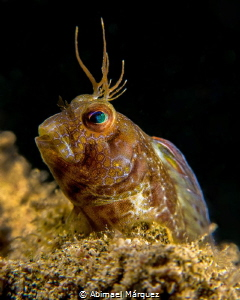 A Blenny on my Beach. by Abimael Márquez