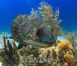 Yawning Grouper by Jan Morton