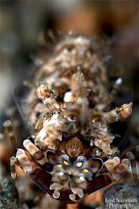 Phyllognathia simplex shrimp by Iyad Suleyman