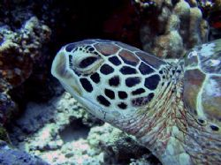 The quintessential sea green turtle, settling into her fa... by Tony Otion