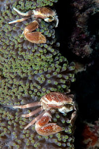 A couple of porcelain crab. by Mehmet Salih Bilal