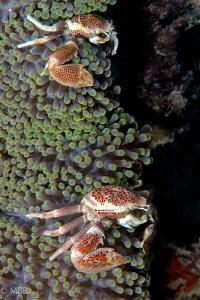 A couple of porcelain crab. by Mehmet Salih Bilal