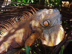This iguana sits in the tree above where we keep our dive... by Martin Spragg