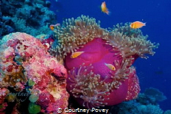 A wonderful shot of some anenome in Palau when i went on ... by Courtney Povey