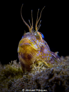 A Blenny is the star. by Abimael Márquez