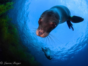 Adorable, playful Sea Lions greet me on a dive in the Cor... by Lauren Berger