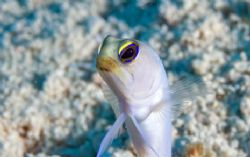 Jawfish portrait. T&C by Andy Lerner