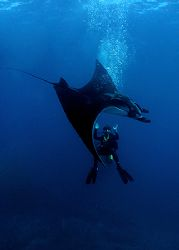 Whooosh! Manta encounter. The Sea of Cortez, Mexico.