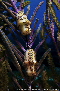Ah yes the Flamingo Tongues working on a gorgonian. This ... by Steven Anderson