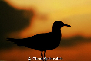 Sea bird at dusk on our live-aboard in the exumas by Chris Miskavitch