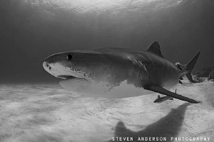 Never do I get tired of sharks!!!!!! by Steven Anderson