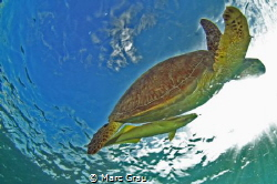 Turtle and remora in Mayotte Island, Chirongui Beach. by Marc Grau