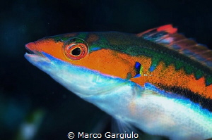 Coris julis, male by Marco Gargiulo