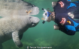 'So Nice To Meet You' A very curious manatee approaches ... by Tanya Houppermans