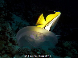 Threadfin butterflyfish nipping at a moon jellyfish by Laura Dinraths