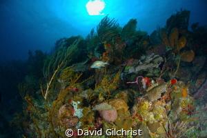Reef Scenic, Texas Drift site, Roatan Marine Park, Roatan... by David Gilchrist