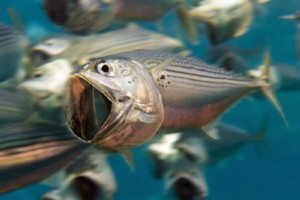 Schooling & feeding Indian Mackerel by Paul Colley