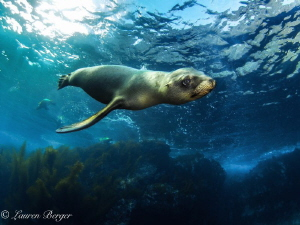A very friendly and curious Sea Lion approaches me near t... by Lauren Berger
